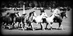 En blanco y negro (Eduardo Amorim) Tags: horses horse southamerica argentina criollo caballo cheval caballos cavalos pferde herd cavalli cavallo cavalo gauchos pferd ayacucho chevaux gaucho cavall  amricadosul gacho amriquedusud provinciadebuenosaires  gachos  sudamrica suramrica amricadelsur sdamerika crioulo caballoscriollos criollos  tropillas buenosairesprovince americadelsud tropilhas tropilla crioulos cavalocrioulo americameridionale tropilha caballocriollo eduardoamorim cavaloscrioulos
