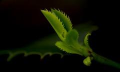 Hollys' new start (Saul_Good) Tags: leaves leaf oak holly evergreen shoots deciduous hmm holm ilex aquifoliaceae justleaves macromondays paultyronethomas