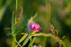 SAM_0701 (gabriella.lavati) Tags: life light wild flower macro natural samsung mc m42 manual manualfocus 50mmf28 greenlife volna9 nx300