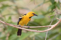 Streak-backed Oriole (arthurpolly) Tags: wild holiday nature beautiful birds photoshop canon eos costarica wildlife exotic elements avian oriole nationpark naturesfinest blueribbonwinner 100400is platinumphoto impressedbeauty avianexcellence flickrdiamond streakbackedoriole natureselegantshots 7dmk2 guanacastle elements13