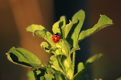Meeting a Red Lady - 14.04.2015 (Madme Rve) Tags: wood red tree nature forest feather coccinelle ladybud