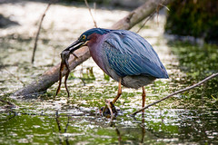 Green Heron eating a frog (The Burgys) Tags: lake green heron water birds pennsylvania eating sony frog pa swamp marsh fullframe wildwood wildwoodpark greenheron a99 wildwoodlake tamrontamron 150600 sonya99