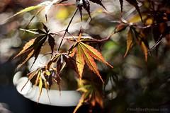 IMG_1252s21FAD (Foto_A_Day) Tags: vintage lens bokeh foliage 55mm exa exakta steinheil f19 bokehlicious quinon