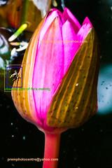 lotusfly-caught-in-the-act-copy (prem swaroop) Tags: flowers its lotus indian temperature nelumbo regulate sacredlotus nucifera beanofindia