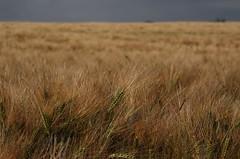 (Flavio Calcagnini) Tags: italy panorama italia val giallo cielo di flavio campo piacenza paesaggio mulino grano temporale fiorano trebbia travo calcagnini