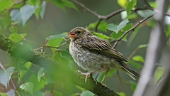 Tree Pipit Fledgling (jaytee27) Tags: treepipitfledgling naturethroughthelens