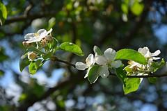 still in bloom (JoannaRB2009) Tags: blossom bloom nature flowers apple tree spring dzkie lodzkie polska poland