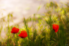 Coquelicot (Stphane Slo) Tags: france nature landscape pentax ombre paysage campagne printemps coquelicot ain rhnealpes pentaxk3ii