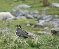 1333 Lapwing - Vanellus vanellus (Andy panomaniacanonymous) Tags: 20160525 ggg greenplover hopemoor lapwing lll mmm moors peewit ppp vanellusvanellus yorkshire