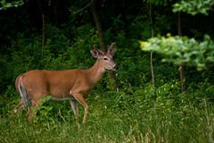 GrangePondBuck (jmishefske) Tags: grendale park wildlife antler buck whitetail velvet rack wisconsin nikon d800e whitnall 2016 milwaukee deer june