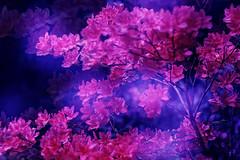 Rosenbaum (novofotoo) Tags: natur pflanzen rhododendren motiv mehrfachbelichtung doppelbelichtungkamera