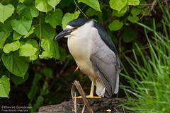 Bihoreau gris / Black-crowned Night-Heron (Pierre Lemieux) Tags: villedequébec québec canada parcdesmoulins bihoreaugris blackcrownednightheron