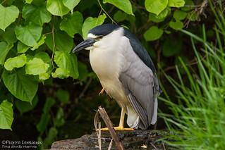 Bihoreau gris / Black-crowned Night-Heron