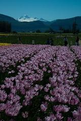 DSC_3739 (Copy) (pandjt) Tags: ca flowers canada bc britishcolumbia tulip abbotsford tulipfestival abbotsfordtulipfestival