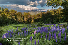 Mountain Blooms (Bill Wakeley) Tags: flowers sunset mountains floral spring glow purple dusk newengland newhampshire sunsets franconia ethereal glowing pastures serene wildflowers pastoral wildflower springflowers purpleflower lupine warmlight purpleflowers sugarhill lupines northernnewengland springflower presidentialrange thewhitemountains sceniclandscape sceniclandscapes newenglandlandscape floweringlandscape billwakeley floweringlandscapes