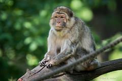 Berberaffe / Barbary Ape (Doris & Michael S.) Tags: tiergarten berberaffe sonyilcaalpha77ii tiere tamronsp150600mm animals barbaryape sonyilca77m2 zoo monodebarbary