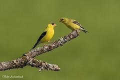 Chardonneret jaune - Goldfinch (Vicky A.) Tags: bird yellow jaune goldfinch oiseau chardonneret