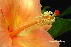 Hibisco en Corto/Hibiscus in Sharp (Altagracia Aristy) Tags: hibiscus cayena laromana quisqueya repblicadominicana dominicanrepublic caribe caraibe antillas antilles trpico tropic amrica altagraciaaristy fuifilmfinepixhs10 fujifinepixhs10 fujihs10 fondonegro sfondonero blackbackground hibisco caribbean primerplano closeup macro