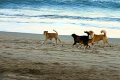 Beach dog (one8888) Tags: bali dog beach nature indonesia fujifilm kuta fujifilmhs25exr hs25exr