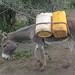 Getting water donkey
