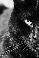 The boss (WillemijnB) Tags: boss black eye eyes kat chat noir oeil yeux whiskers moustaches katze blitz zwart oog snorharen snoet