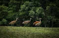 A stroll in the field (13skies) Tags: field walking countryside cranes handheld shooting sandhillcranes timing farmersfield