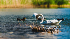 Nature restart his Breath (Anadal Xel-Grip) Tags: photo france herault place nophotoshop pets lake world montpellier blue wild beautiful pics swans animals moment nature ducks picture languedocroussillonmidipyrn languedocroussillonmidipyrnes fr