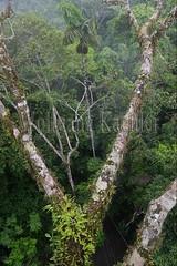 60071616 (wolfgangkaehler) Tags: 2016 southamerica southamerican ecuador ecuadorian latinamerica latinamerican rionapo rionapoecuador rionaporiver rainforest coca cocaecuador laselvalodge observationtower tower rainforestcanopy epiphyticplants epiphyte epiphytes trees
