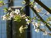 had to walk the dog anyway (verabellapiccolachiaragloria) Tags: appletree appleblossoms earlymorningsun