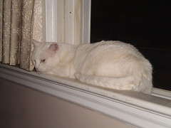 Mystic (universalcatfanatic) Tags: summer cats white green eye window wall night cat dark eyes beige sill curtain screen inside mystic sil lay laying