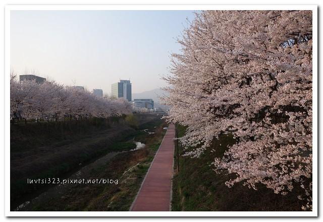 양재천벚꽃13