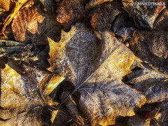 Winter Leaves No. 2 (Ragnarkkr) Tags: nature belgium antwerp antwerpen belgio naturephotography anversa tonemapping hdrphotography luminancehdr