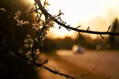 Divine plum blossoms (Meastropulation) Tags: licht blossom blossoms plum divine blte plumblossom plumblossoms pflaume pflaumen gttlich strase pflaumenblte pflaumenbaum pflaumenblten