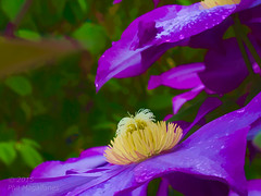 Clematis-Purple-Art (Philip Magallanes) Tags: flowers art nature garden clematis