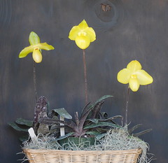 Paphiopedilum armeniacum and hybrids (cieneguitan) Tags: yellow flora land bunga orkid okid angrek anggerek