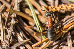 BWI3_164_12. April 2015 (wilfriedpförtsch) Tags: umwelt formicarufa rotewaldameise hautfluegler insektspinne ultratagproc20062013coolcolours ultratagpro401de reichdertiere