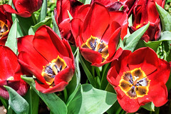 Tulips (chooyutshing) Tags: flower singapore tulip marinabay flowerfield 2015 baysouth flowerdome gardensbythebay tulipmaniafloraldisplay
