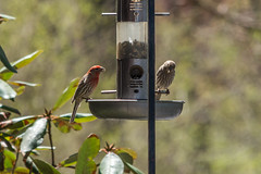 Male and Female House Finches (thomas.hartmann496) Tags: red newyork bird birds animal photo spring unitedstates birdfeeder troy finch perched housefinch songbird rpi malehousefinch femalefinch malefinch femalehousefinch