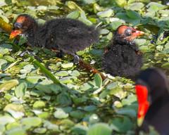 05-02-15-000011658.jpg (Lake Worth) Tags: bird nature birds animal animals canon wings florida wildlife feathers wetlands everglades waterbirds southflorida 2xextender sigma120300f28dgoshsmsports