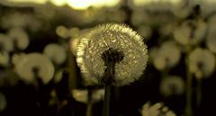 Bloomy dandelion (fnumrich) Tags: depthoffield dandelion flower blooming backlight summer löwenzahn sommer wiese pusteblume