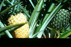 3-24-52- Pineapple- Hawaii (1) (foundslides) Tags: hawaii hawaiian islands americantourist 1952 1950s irmalouiserudd irmalouisecarter williamcarter asia pacific south polynesia polynesian vacation retro vintage sandwish holiday old photo photos oldphotos colorslides transparencies kodak kodachrome redborder foundslides slides johnrudd analog slidecollection irmarudd