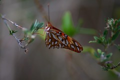 Butterfly (Simone Scott) Tags: beauty butterfly caymanislands caymanbrac simonescott