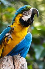 Blue and Yellow Macaw (Priscila de Cássia) Tags: brazil naturaleza bird nature animal brasil fauna zoo nikon colorful natureza exotic ave macaw exótico arara nikond90