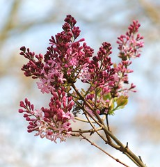 Lilac buds (ekaterina alexander) Tags: pictures flowers trees england flower tree nature photography sussex spring blossom lilac buds alexander syringa ekaterina