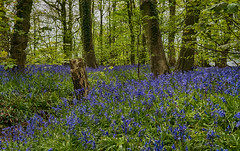 Bluebells (chaotic river) Tags: wood uk blue wild flower tree woodland time bell lancashire stump brock bluebell sprig