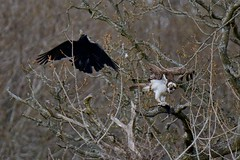 Crafty Crow. (stonefaction) Tags: nature birds scotland angus wildlife crow loch carrion osprey balgavies
