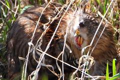 Muskrat, now that's what I call chewing (Daniel Taieb) Tags: ontario canada wildlife aurora muskrat auroraarboretum nowthatswhaticallchewing