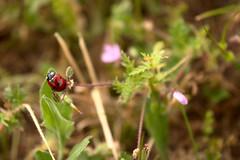 20160514_0094 (mystic_violet) Tags: vienna wien austria sterreich spring beetle meadow wiese ladybird ladybug ladybeetle kfer frhling marienkfer ladybirdbeetle coccinellidae c7 coccinellaseptempunctata siebenpunkt sevenspotladybird sevenspottedladybug nikond3300 darktable