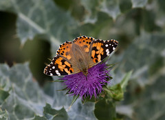 Painted Lady ----Vanessa cardui (creaturesnapper) Tags: europe butterflies lepidoptera greece paintedlady vanessacardui nymphalidae