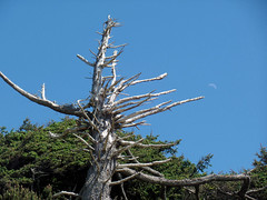 Afternoon moon, Cannon Beach, Oregon, US (nikname) Tags: trees moon oregoncoast cannonbeach cannonbeachoregon weatheredtrees pacificnwbeaches